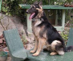 lion shepherd dog for crossing