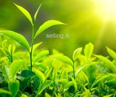 Tea Estate for Urgent Sale - Deniyaya