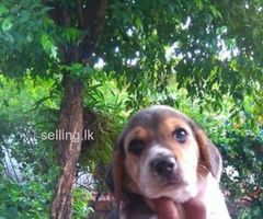 Beagel Puppies for sale