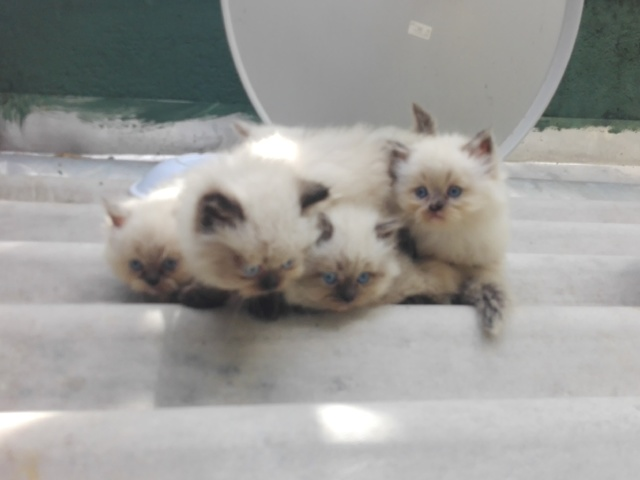 Persian cat for sale in sri lanka