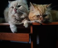 Persian cats for Urgent sale