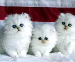 Original Persian cats. & kitten (male/female)