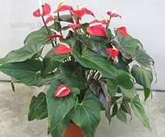 Anthurium plants