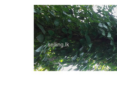 Pepper cultivated land for sale