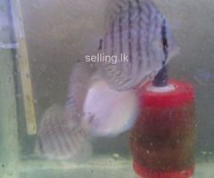 Discut fish with tanks for sale