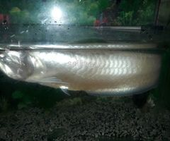 Arawana fish