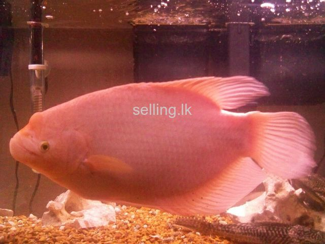 giant guramis for sale