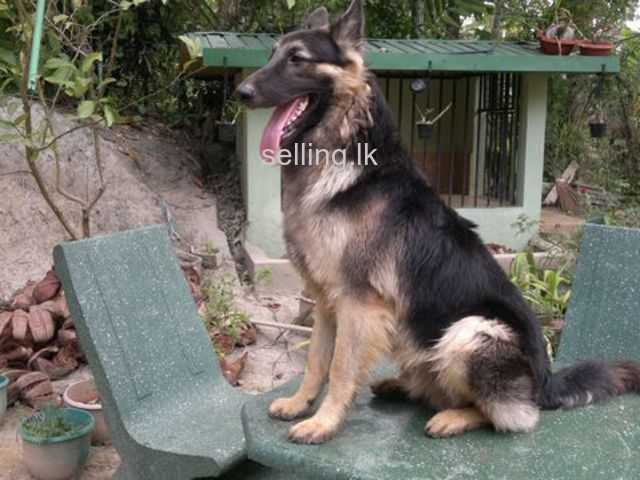 Lion Shepherd Dog Sale In Sri Lanka