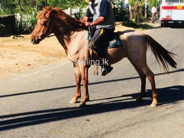 half breed horse for sale in Bandarawela