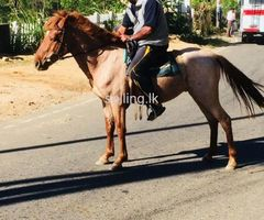 half breed horse for sale in Bandarawela
