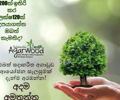 Sadaharitha Agarwood