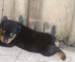 rot willer Dog puppy for sale