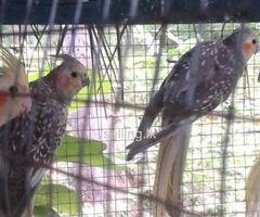 Cocktiel birds