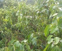 Cinnamon land for sale