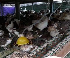 Kaada quail farm