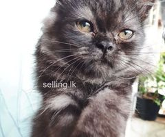 Persian kitten for urgent sale