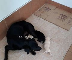 Chute  labrador puppies for sale