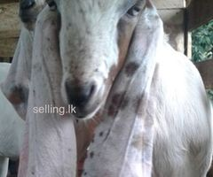 Jamunapari goat for sale