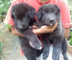 Lion shepherd puppies