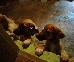 Rich back puppies for sale