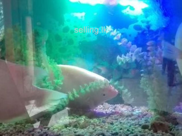 03 Nos giant gourami fishes for sale