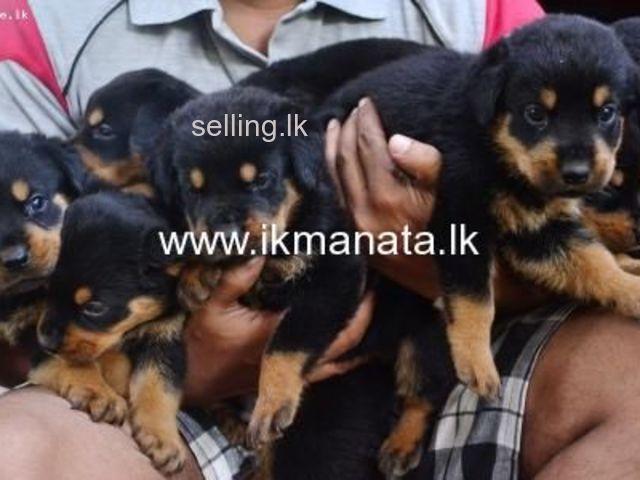 Rottveiler for sale