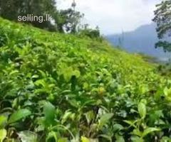 Tea Land for Sale in Deniyaya