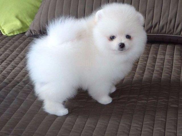 Adorable teacup Pomeranian puppies for sale