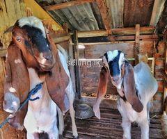 Jamunapari Goats for sale- ජමුනාපාරි එළුවන්