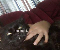 Parisian cat for sale