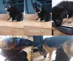 Germanshepherd puppies for sale
