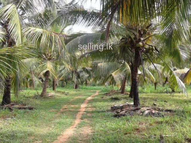 coconut land 7 acre Kurunegala