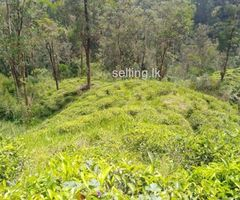 2 Acres Tea Estate for Sale in Rozalla, Hatton