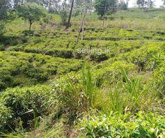 2 Acres Tea Estate for Sale in Rozalla, Hatton