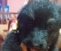 Lion German Shepherd puppies for sale