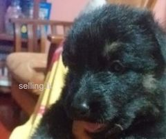 Lion German Shepherd puppies for sale