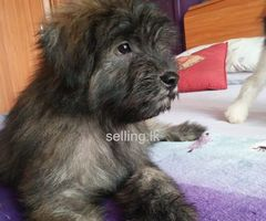 Tibetan Terrier puppy for sale