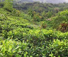 Tea LAND - KALAWANA