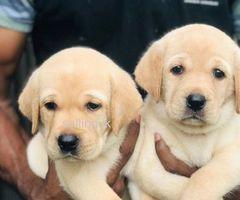 Labrador female puppies