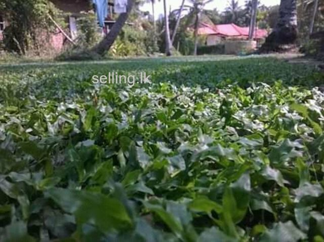 Malasiyan carpet grass  supplier  in ja - Ela