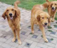 Golden reteriver male dogs for sale
