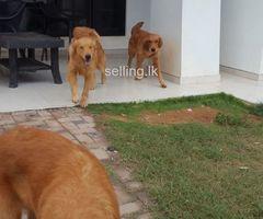 Golden reteriver male dogs for sale