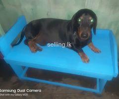 Sell dog