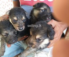 german shepherd dogs for sale