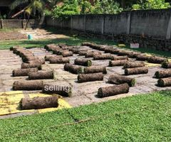 Malayasian carpet grass