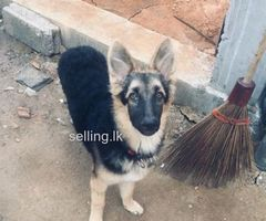 Lion shepherd dog for sale