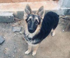 Lion shepherd dog for sale