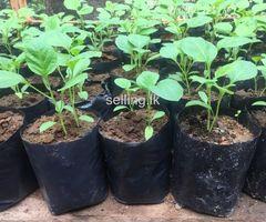 Vegitbale plants for sale homagama