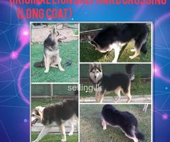 Lion shephard dog crossing (long coat)