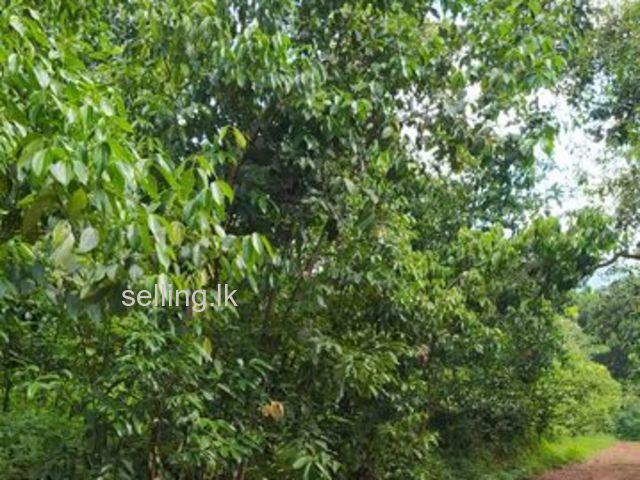 Cinnamon  land in Kamburupitiya